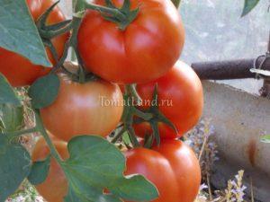 Лучшие сорта голландских семян томатов для теплиц и открытого грунта