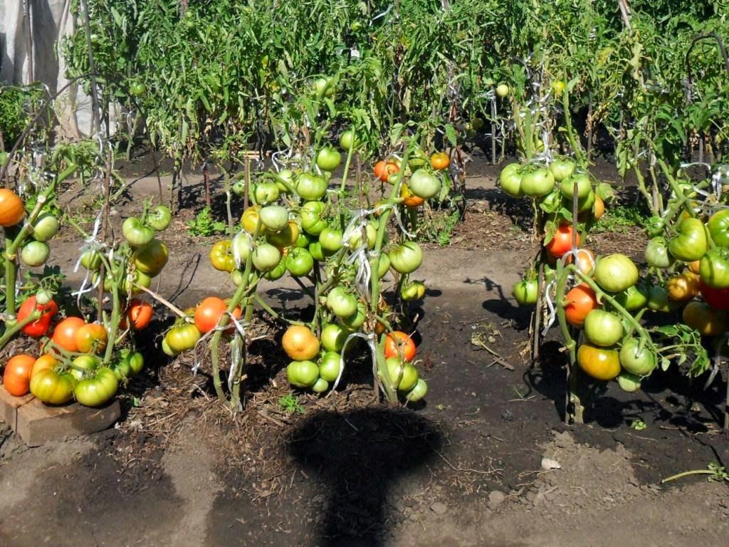 Сорта томатов, менее склонных к фитофторозу