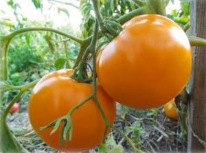 «Оранжевое чудо»