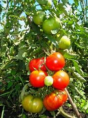 помидоры устойчивые к фитофторозу