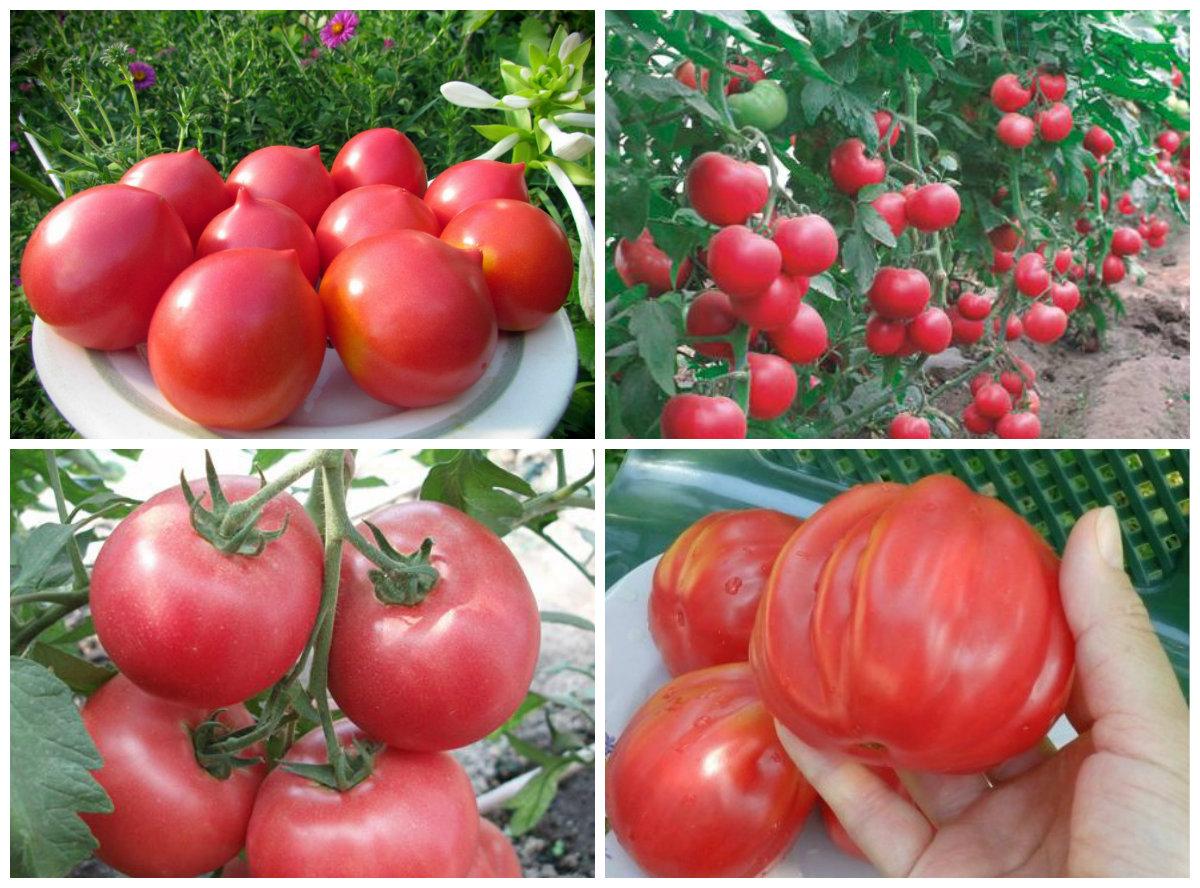 ранние сорта помидор