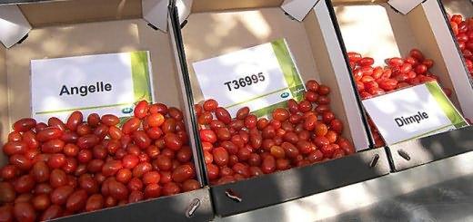 Изображение томатов голландской селекции, greenhouses.ru