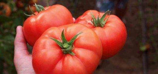 Изображение томатов сорта Белфаст, zolotoygektar.com.ua