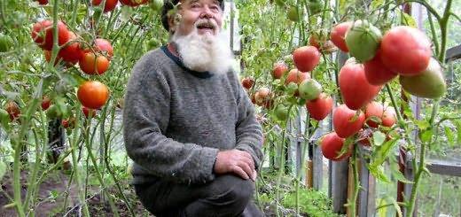 Изображение вкусных сортов помидоров, tomsk.ru