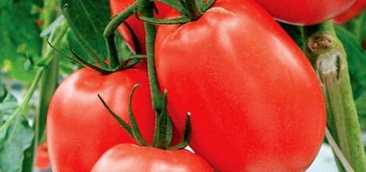 Сорт томата краснодарской селекции, supersadovod.ru