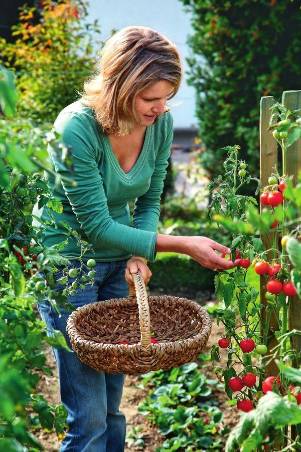 Настоящий агрессор - так можно назвать это грибное заболевание, поражающее томаты.