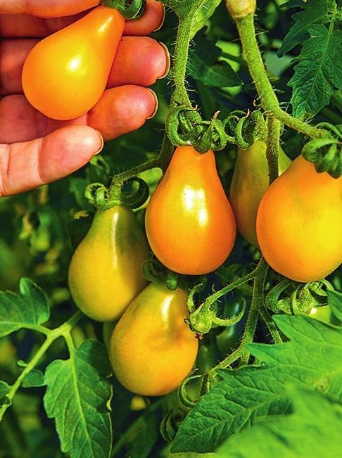'Yellow Pearshaped' - ранний сорт с многочисленными сладкими плодами грушевидной формы.