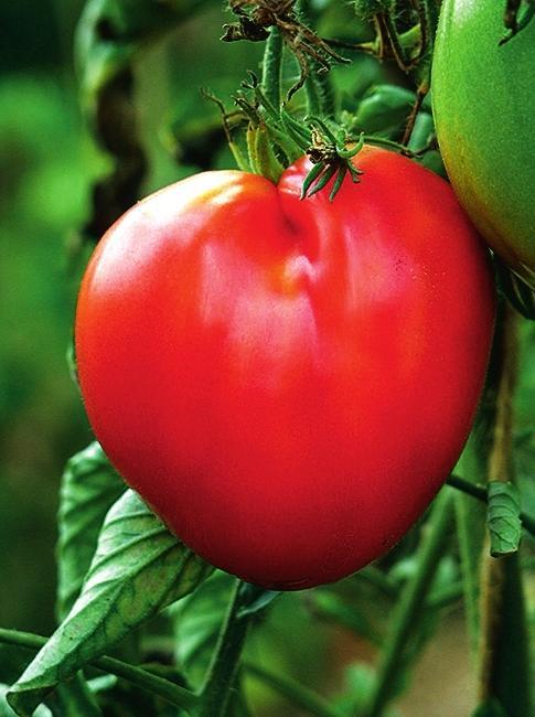 'Бычье сердце' - позднеспелый томат. Кожура у плодов тонкая, ароматная мякоть у полностью зрелых плодов становится не очень сочной.