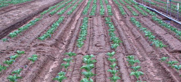 сколько урожайность картофеля с 1 га