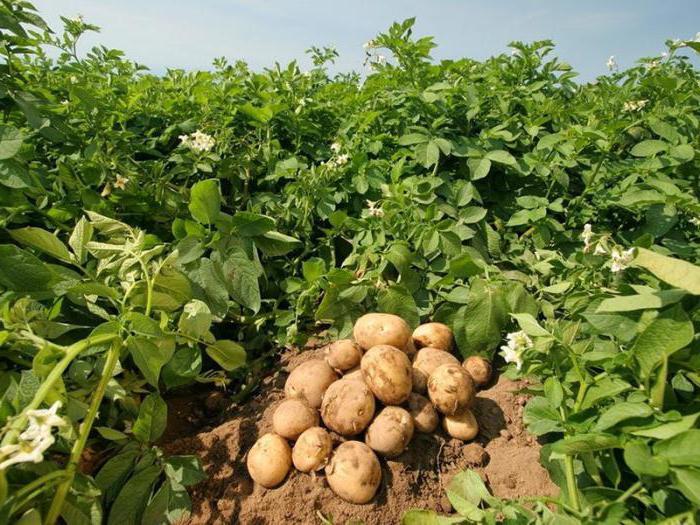 урожайность картофеля с 1 га в сибири