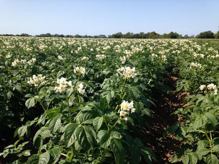 урожайность картофеля с 1 га по сортам