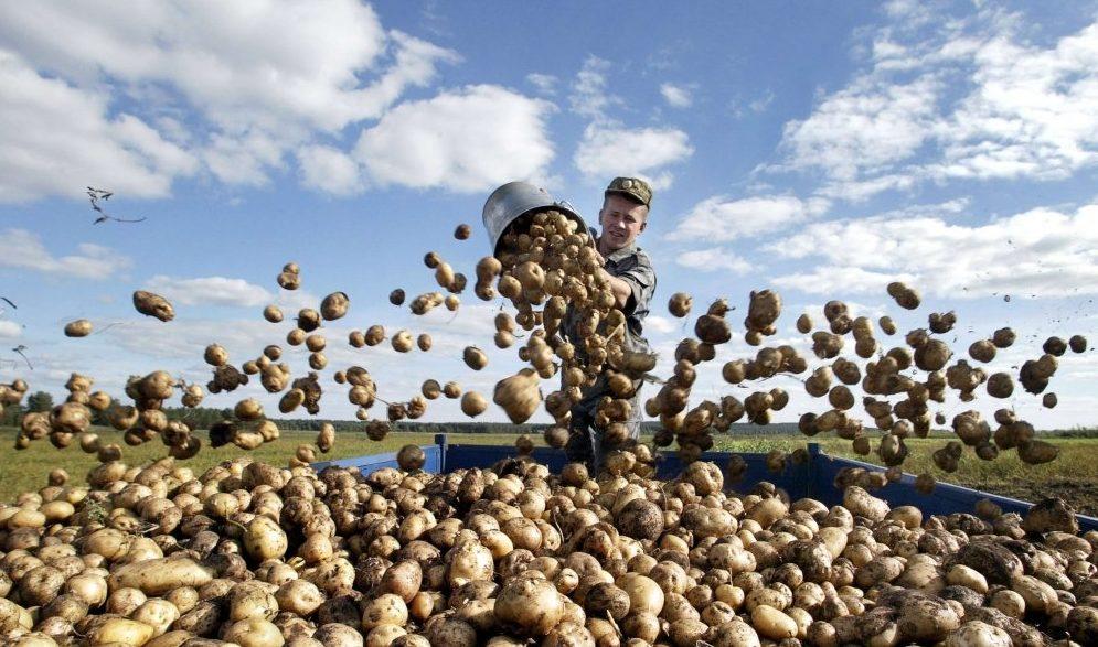 Урожайность с 1 га картофеля