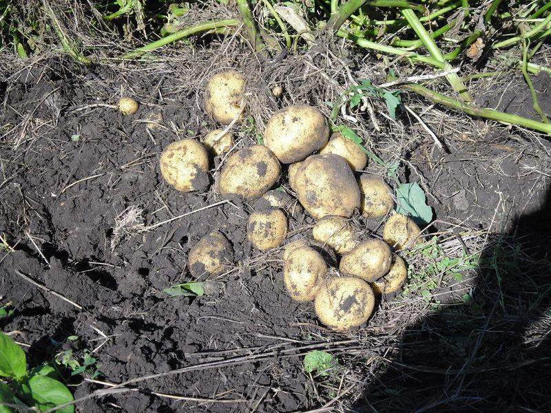 Сколько картошки с 1 га