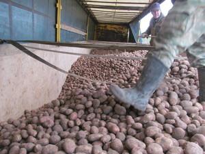 Какая урожайность картофеля с гектара