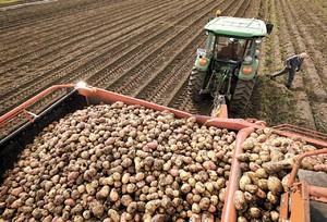 Средний урожай картофеля с гектара