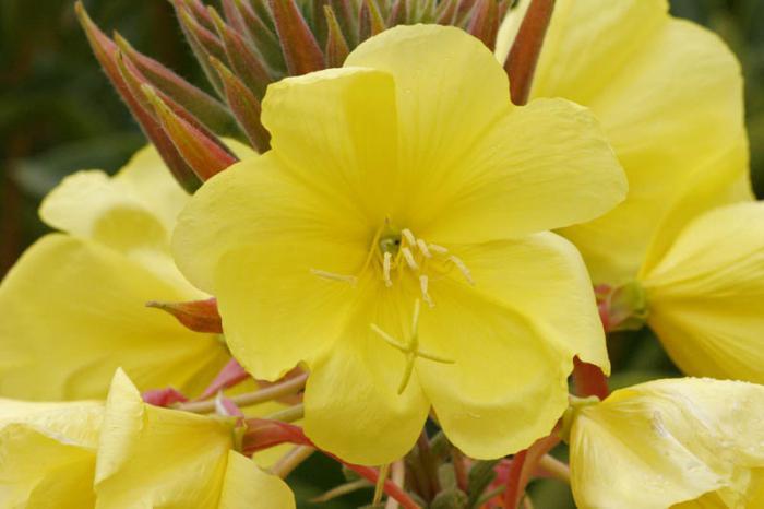 первые цветы весны названия