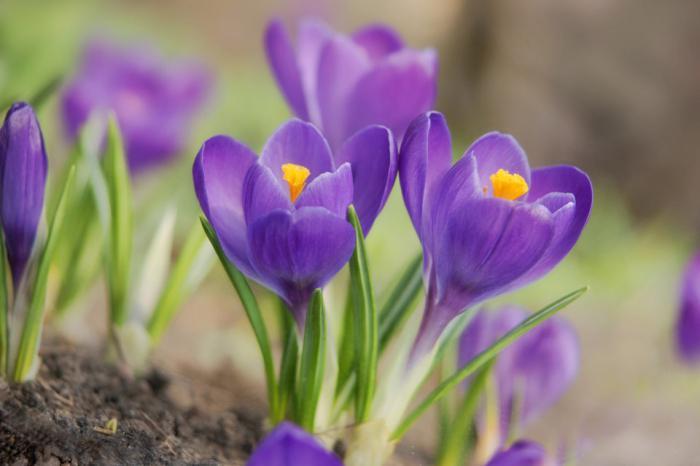 самый первый цветок весной