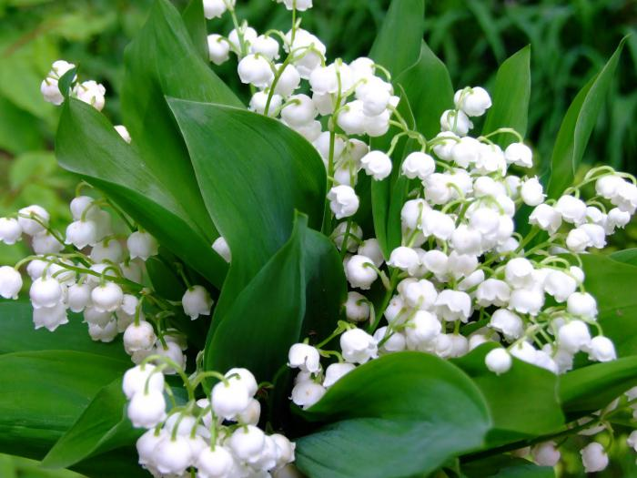 какие цветы появляются первыми весной