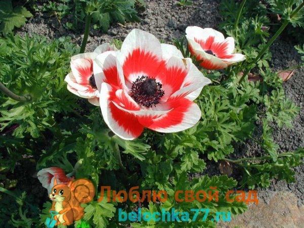 многолетние ранние цветы анемона