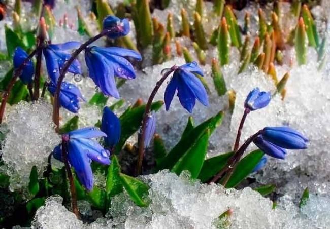 Пролески - теже подснежники только с синими цветами