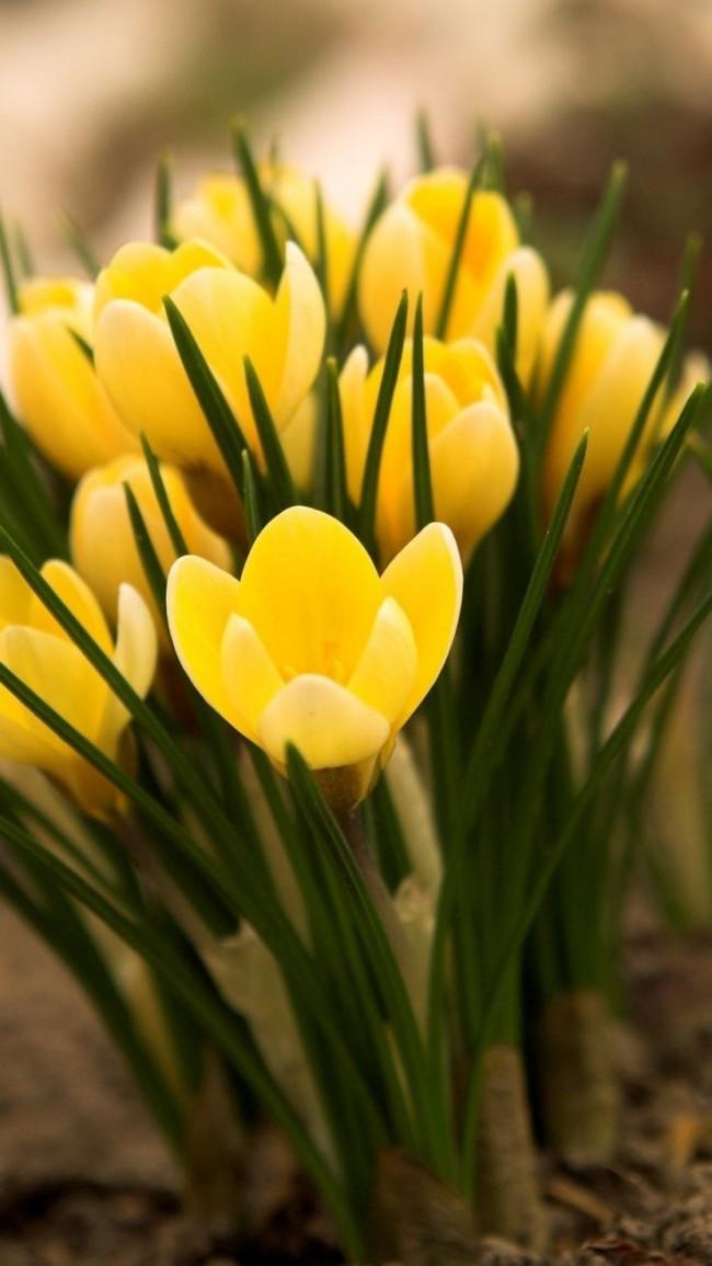Краисивые ярко-желтые крокусы