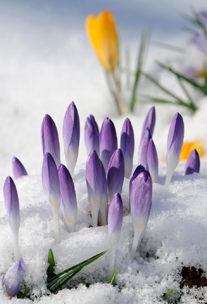 Даже еще не раскрывшись и под снегом крокусы выглядят ярко и красиво