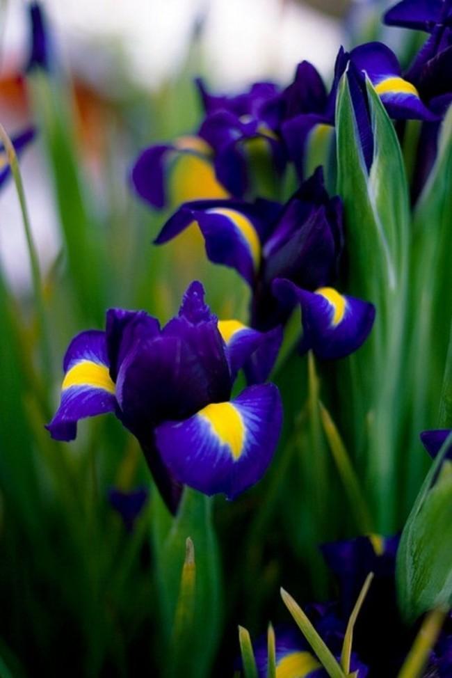 Яркий иридодиктиум тоже относится к первоцветам