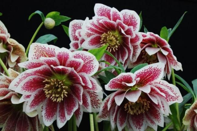Морозник - один из самых красивых весенних цветов