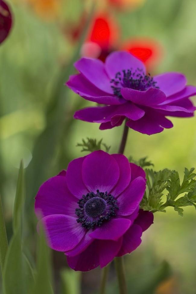 Анемона тоже достадочно яркий и красивый цветок
