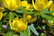 Фото 1 Весенние первоцветы (фото с названиями): разбудите ваш дачный участок!