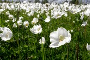 Фото 4 Весенние первоцветы (фото с названиями): разбудите ваш дачный участок!