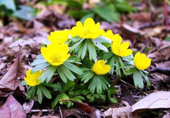 весенние цветы названия