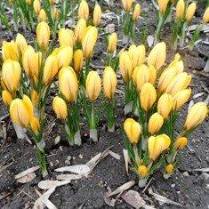 Весенние цветы для клумбы