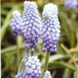 Весенние мелколуковичные цветы