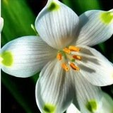 Белоцветники - первые весенние цветы