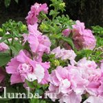 Махровая петуния — украшаем сад яркими бутонами