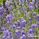 Лаванда — отличное украшение для сада