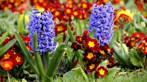 Весенние цветы: крокусы и гиацинты