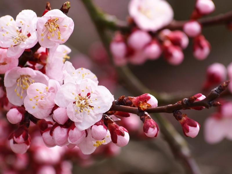 Сакуры в цвету