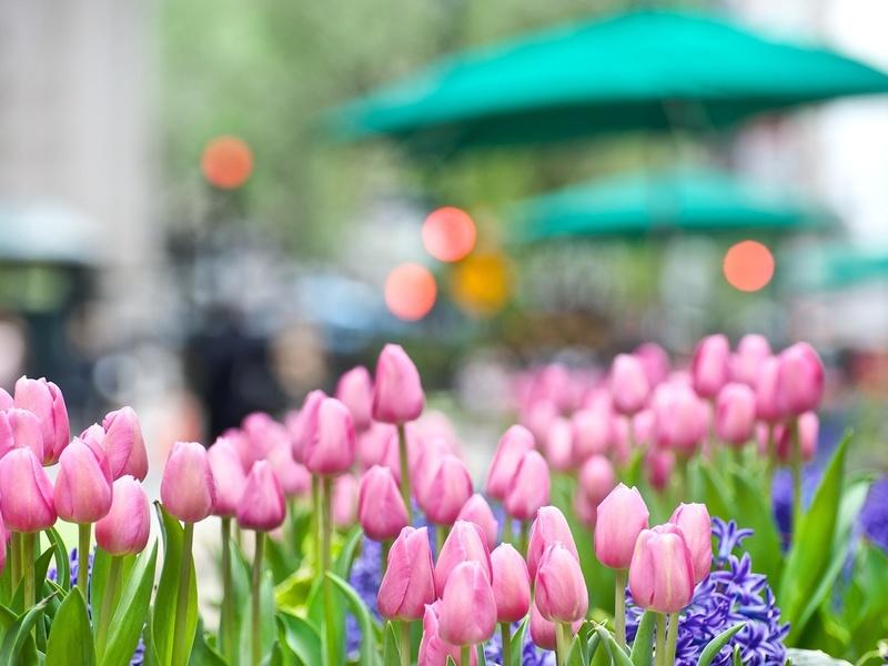Тюльпаны, гиацинт