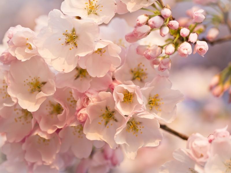 Цветущая дерево вишня