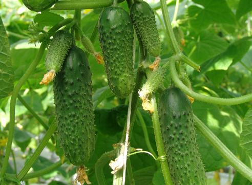 выращивание урожайного сорта огурцов
