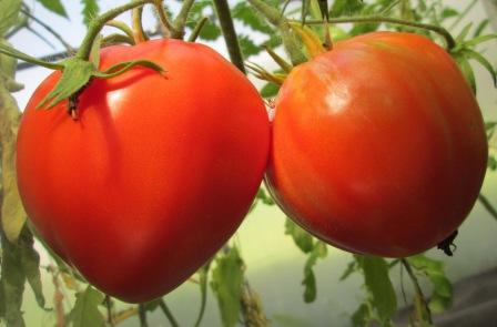 Подбирая сорта помидоров (Краснодарский особенно), нужно учитывать все особенности климата этой местности