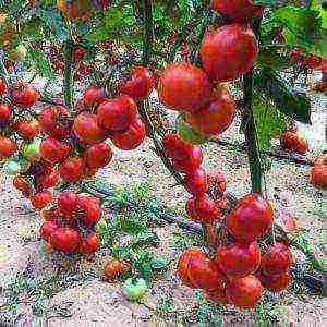 какие сорта помидор лучше выращивать в краснодарском крае