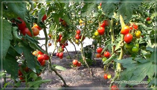 помидоры посадка и уход фото