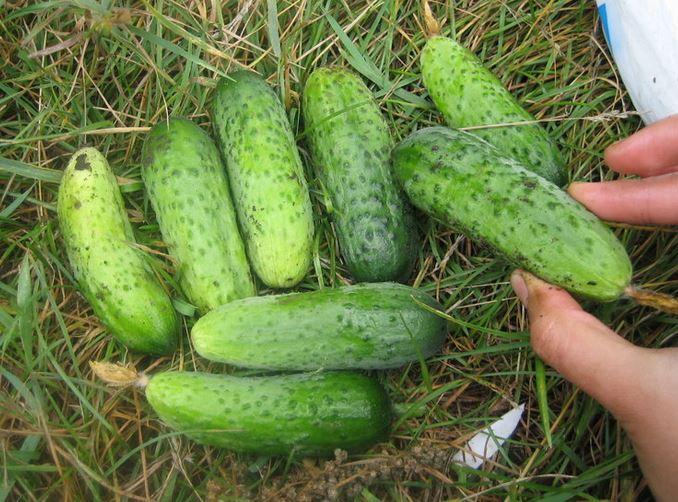 Огурцы длительного плодоношения для теплиц Анюта