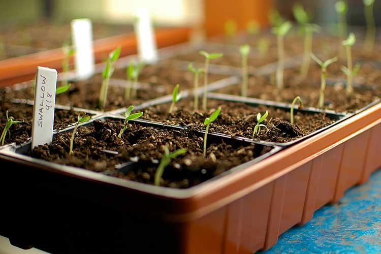 Подозрительные семена, перед посадкой надо дезинфицировать любым, удобным способом