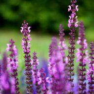 Посадка сальвии цветов в открытый грунт