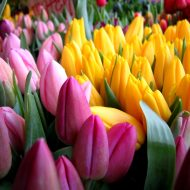 Посадка тюльпанов осенью: когда и как посадить?