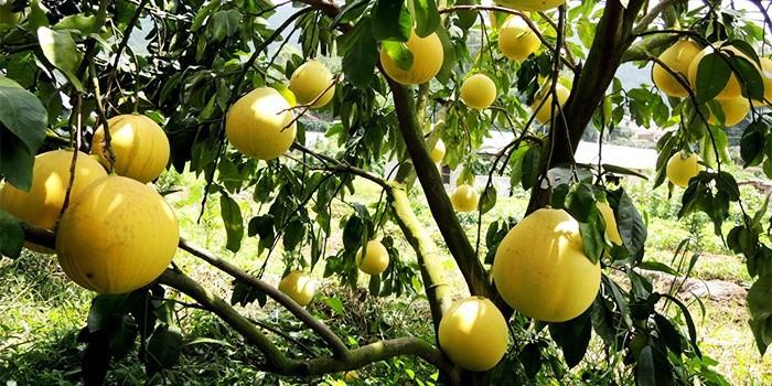 Новый Урожай Свежий Помело Название Все Цитрусовые Фрукты - Buy ... | 350x700